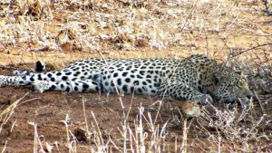 Leopard in Makalali concession, South Africa