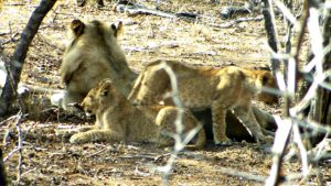 Lions in Makalali concession, South Africa