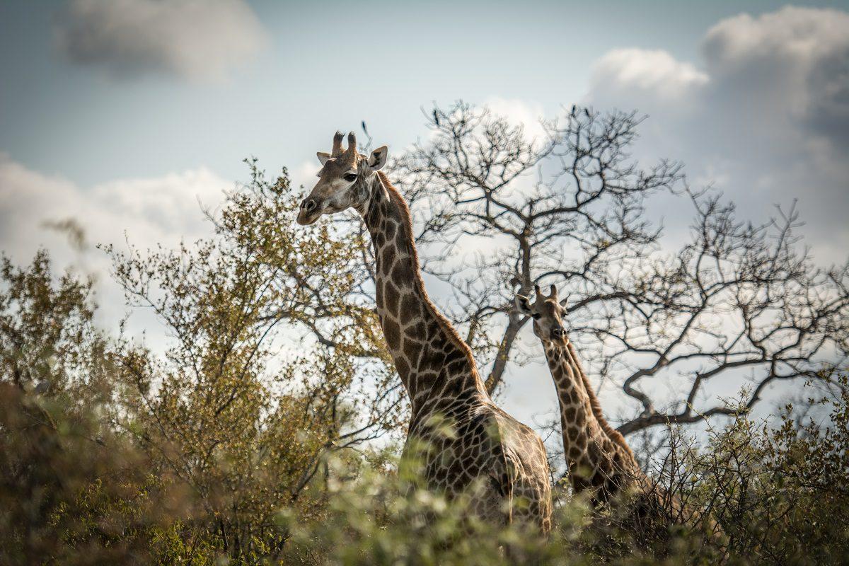 giraffes u2013 the dark side that may surprise you garonga blog
