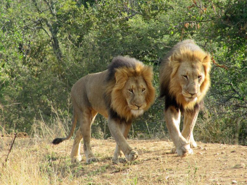 Garonga, cheetah, South African safari, wildlife safari, Great Makalali Reserve