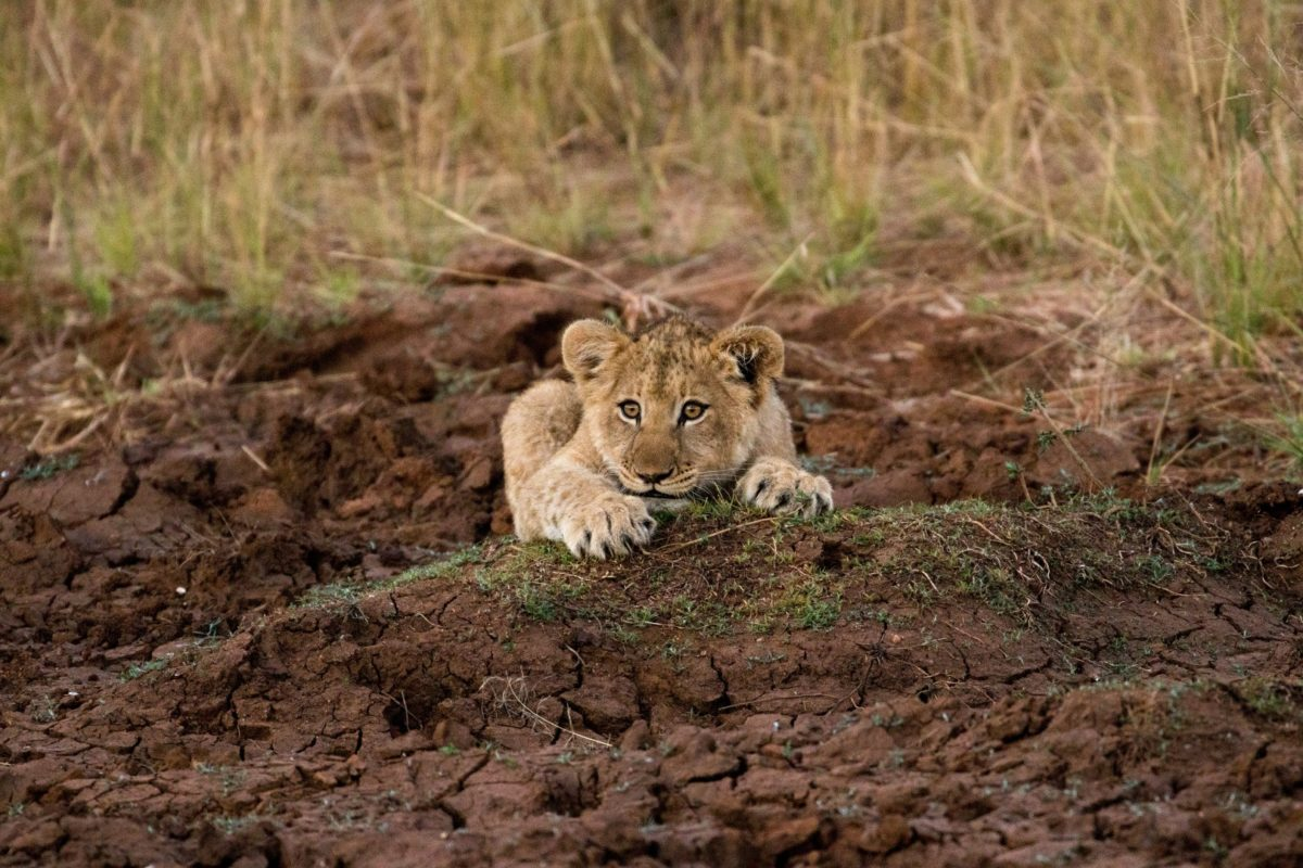 Lion Cub from the Garonga Pride at Makalali Conservancy