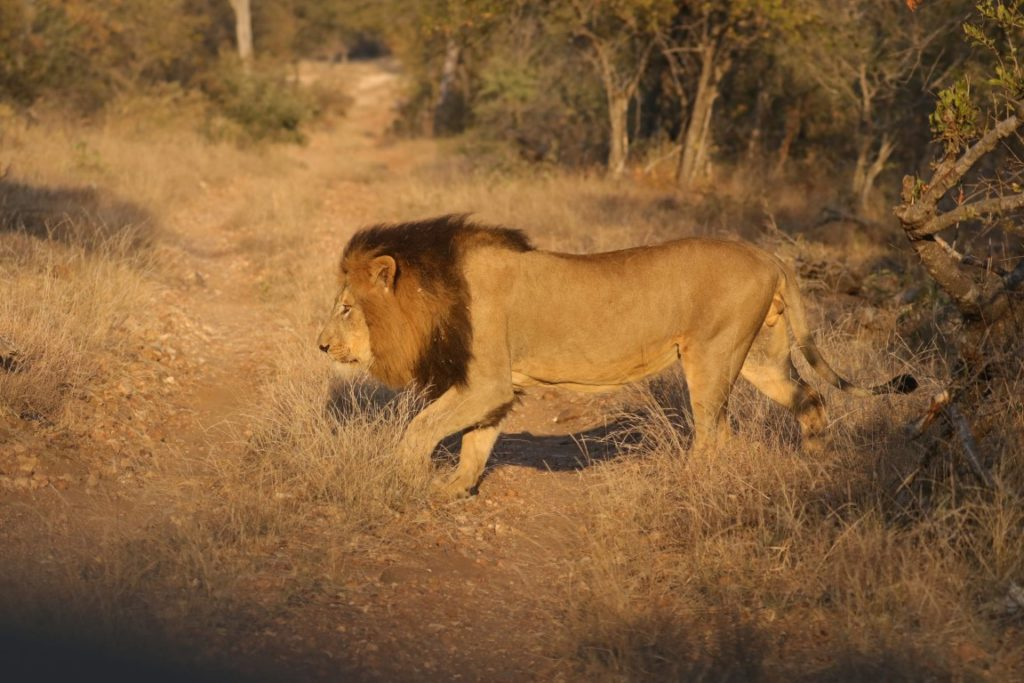 Male lion from the Garonga Pride at Makalali Conservancy