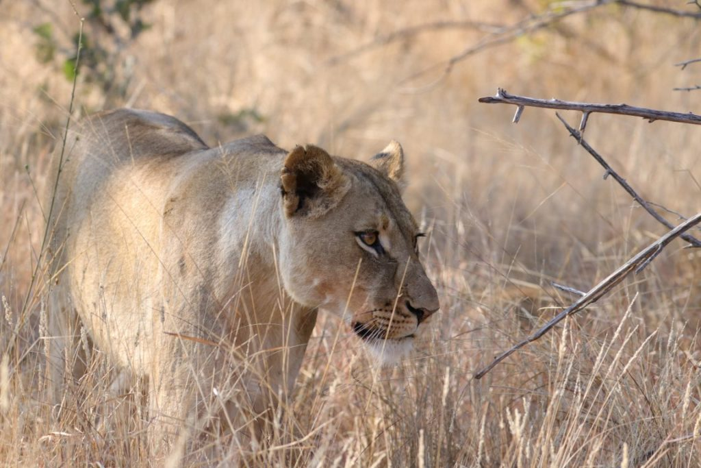 A lioness from the Garonga Pride in the Makalali Conservancy