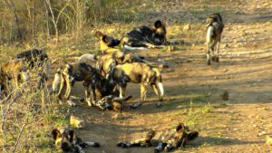 Wild dogs in Makalali concession, South Africa