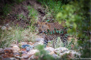 Makalali leopard sighting