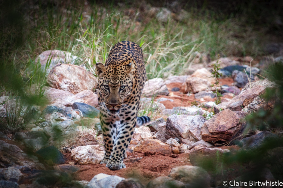 Leopard Spotting at Garonga Safari Camp