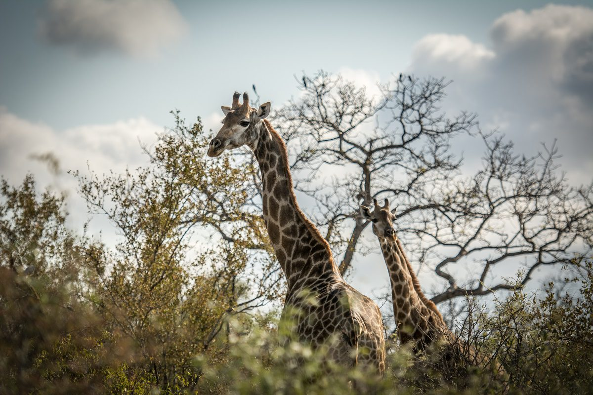 Giraffes – The Dark Side that May Surprise You