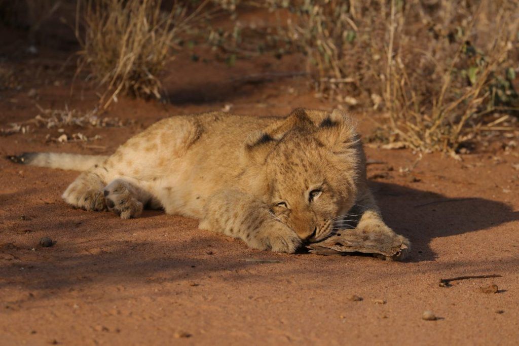 Lion cub from the Garonga Pride in the Makalali Conservancy