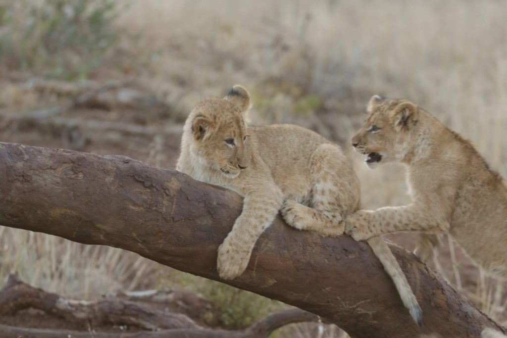 Playful lion cubs from the Garonga Pride at Makalali Conservancy