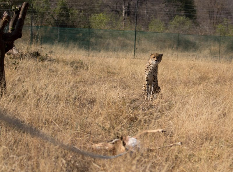 Garonga, cheetah, South African safari, wildlife safari, Great Makalali Reserve