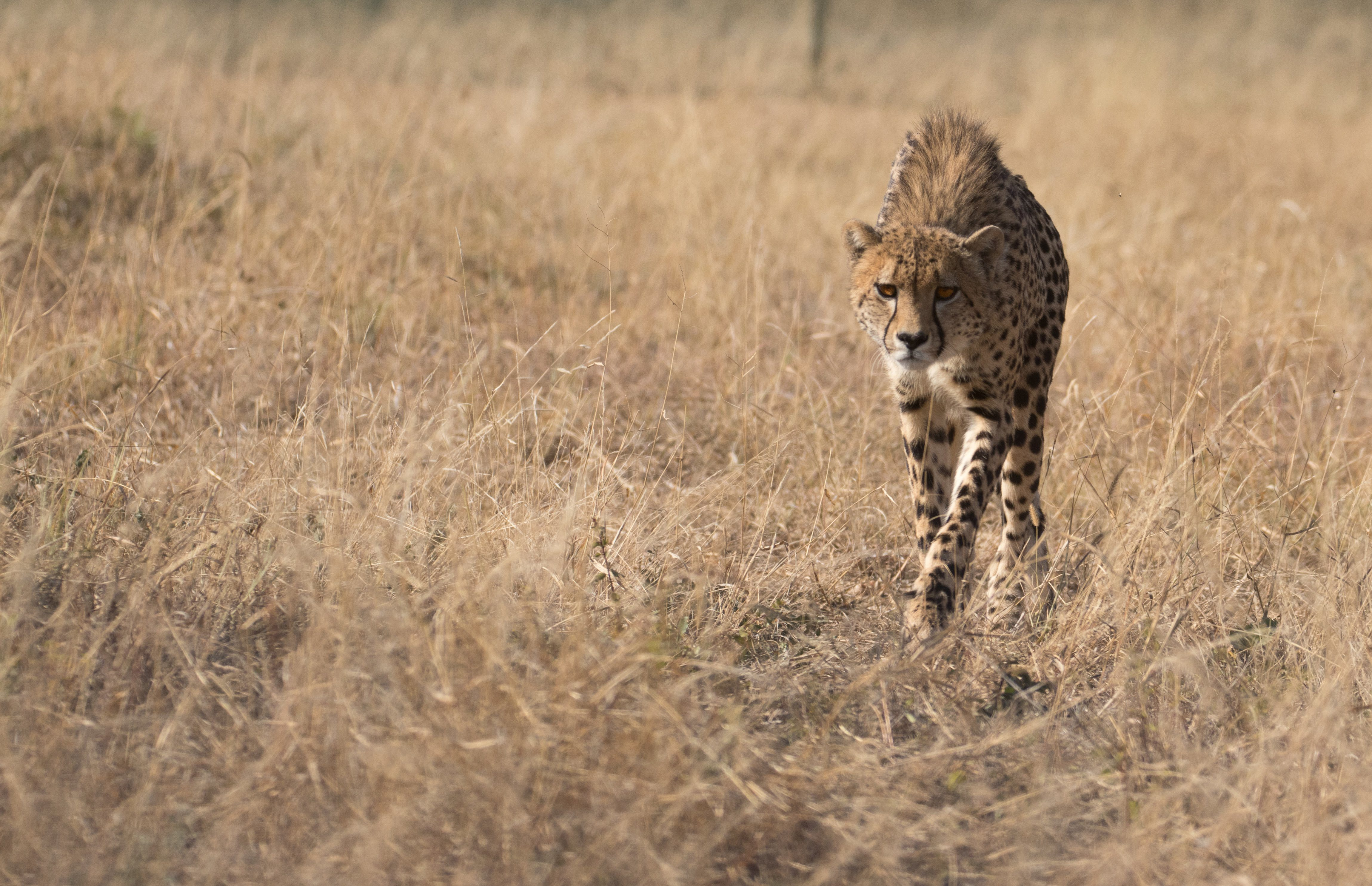 Patsy the Cheetah Tastes Freedom