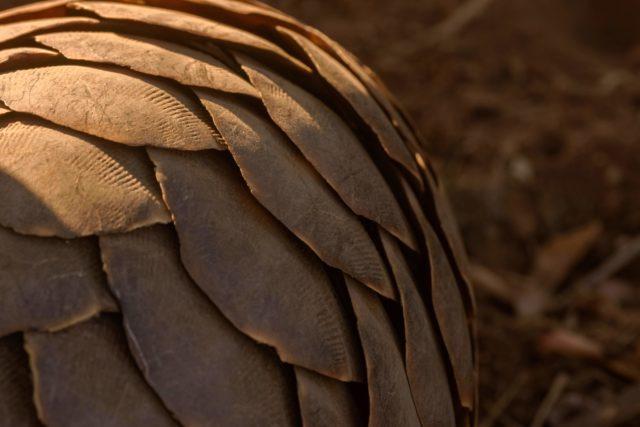 safari camp stories, garonga, South African safari, pangolin, endangered species, pangolin poaching