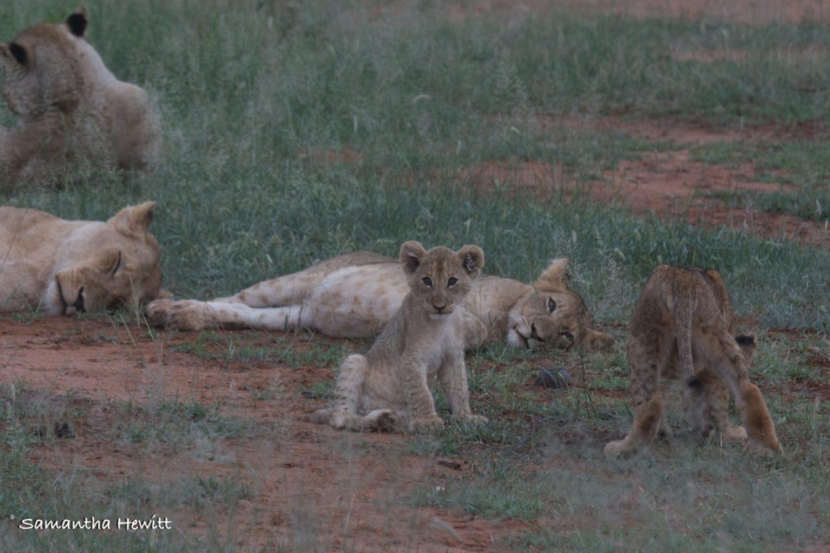 Safari Camp Stories, Garonga, South African Safari, Big 5 Animals, Big 5 Safari, Lions