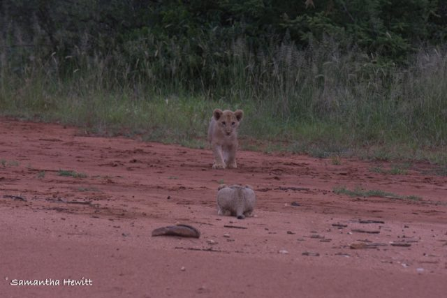 Safari Camp Stories, Garonga, South African Safari, Big 5 Animals, Big 5 Safari, Lions