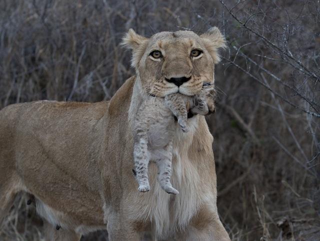 Garonga, Big 5 Safari, South Africa Safari, Africa Safari, Wildlife Photo Competition