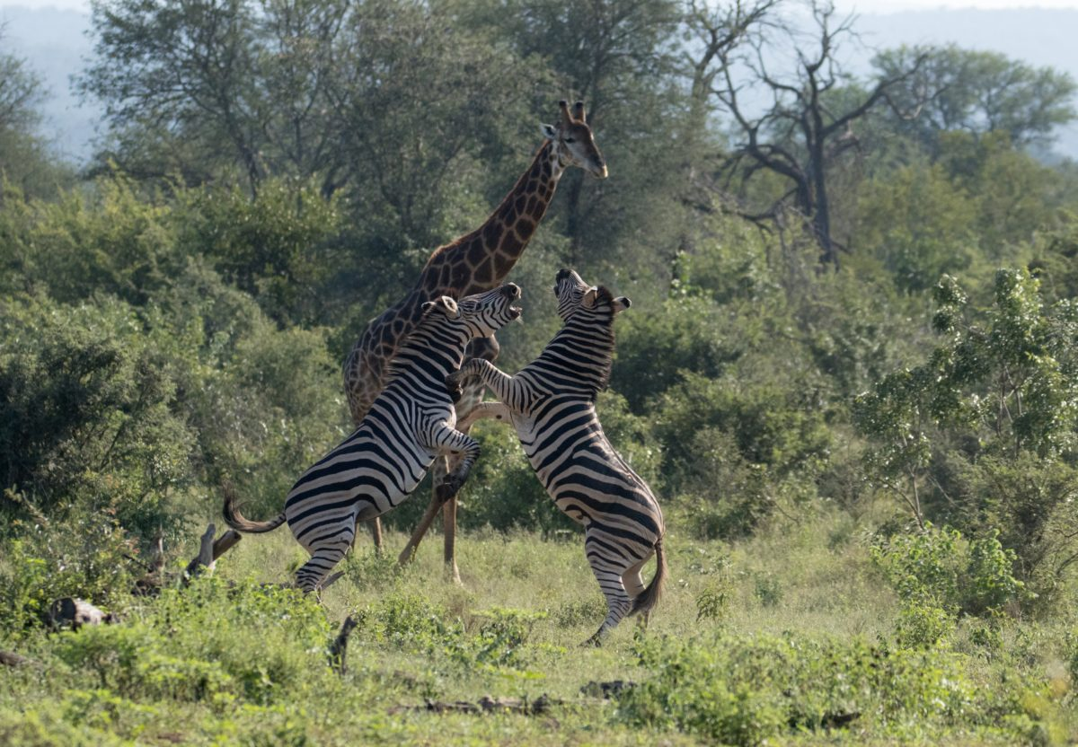 Safari Camp Stories: A Zebra Walked into a Bar…