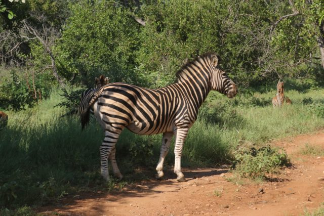 Garonga Safari Camp, Little Garonga, South Africa Safari, Zebra, Zebra Fighting, Safari Camp Stories