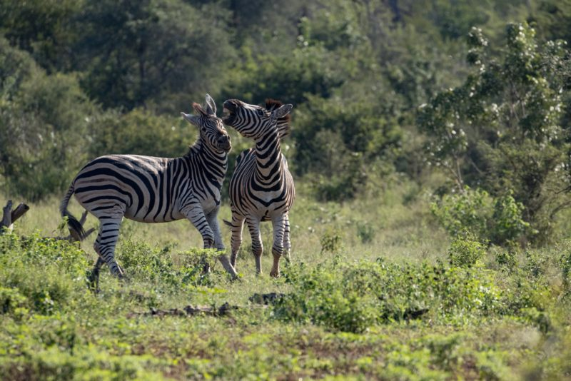 Garonga, South Africa, African Zebra