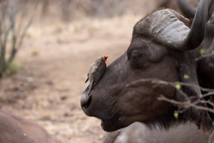 Africa safari, Big 5 Safari, Africa wildlife, Garonga Safari Camp, Greater Makalali Private Game Reserve, Makalali, South Africa safari, Safari Camp Stories