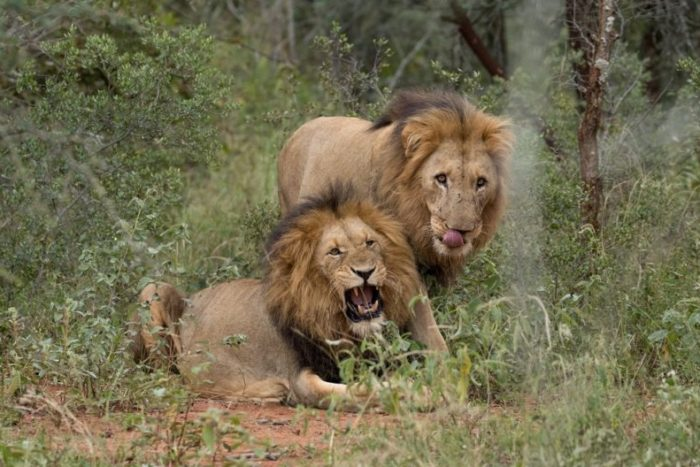 Garonga Safari Camp, Big 5 Safari, Safari Camp Stories, South Africa Safari, African Big Cats, African Wildlife, Garonga Pride