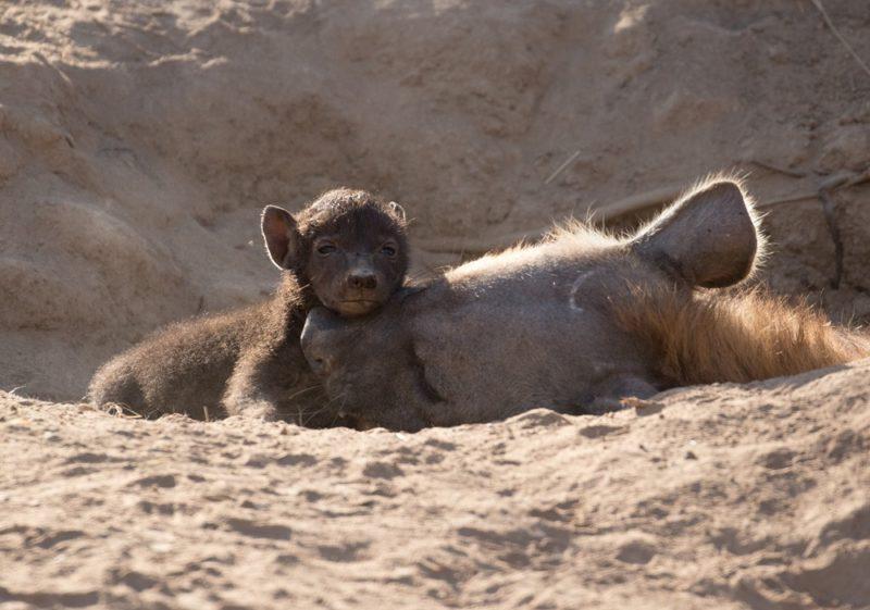 Safari Camp Stories: Kaizer & Glandstone's Unexpected Adventure