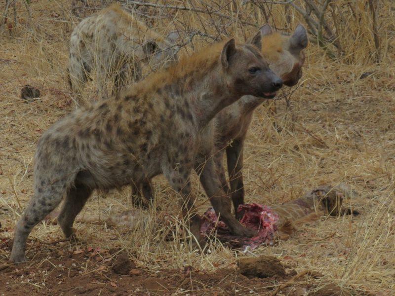 Garonga Safari Camp, Safari Camp Stories, Safari Camp, Hyena, Predators