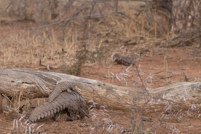 Ground Pangolin, Animal Trafficking, IUCN Red List, Garonga, Safari Camp