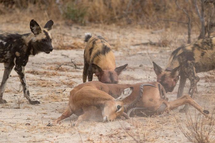 African Wild Dogs, IUCN Red List, Garonga, Safari Camp