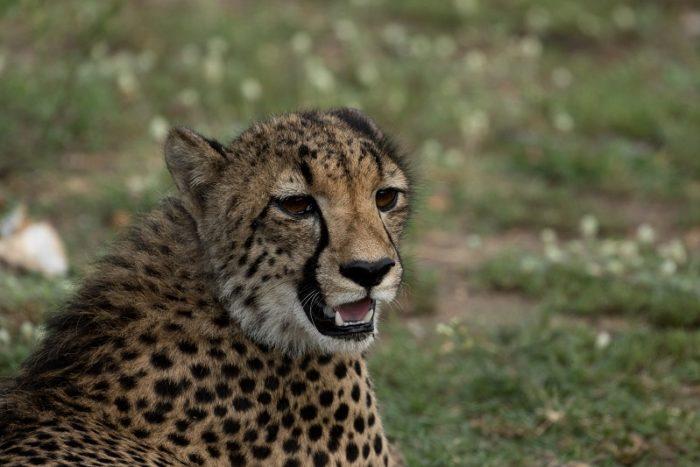 Cheetahs, IUCN Red List, Garonga, Safari Camp