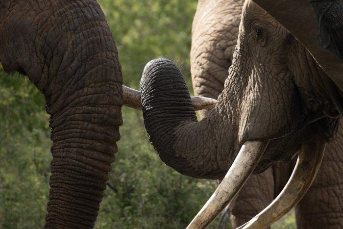 Elephants, IUCN Red List, Garonga, Safari Camp