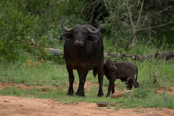 African Buffalo, IUCN Red List, Garonga, Safari Camp