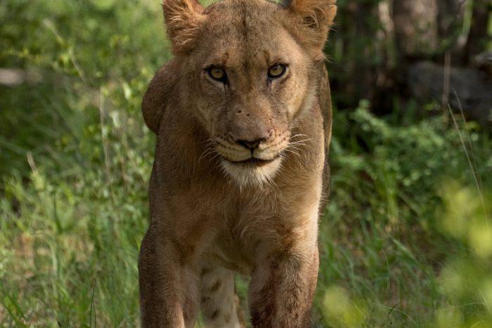 Lion, IUCN Red List, Garonga, Safari Camp