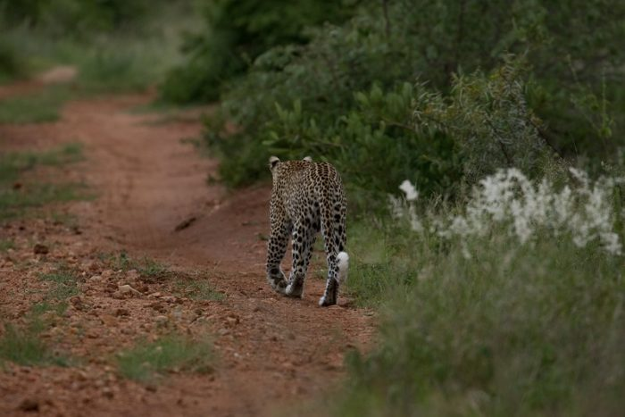 Leopard, IUCN Red List, Garonga, Safari Camp