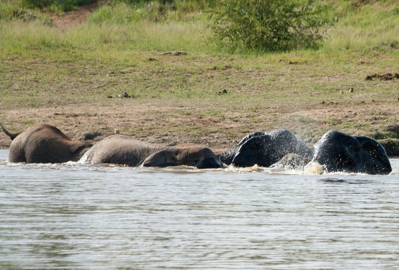 Garonga, Elephants Swimming