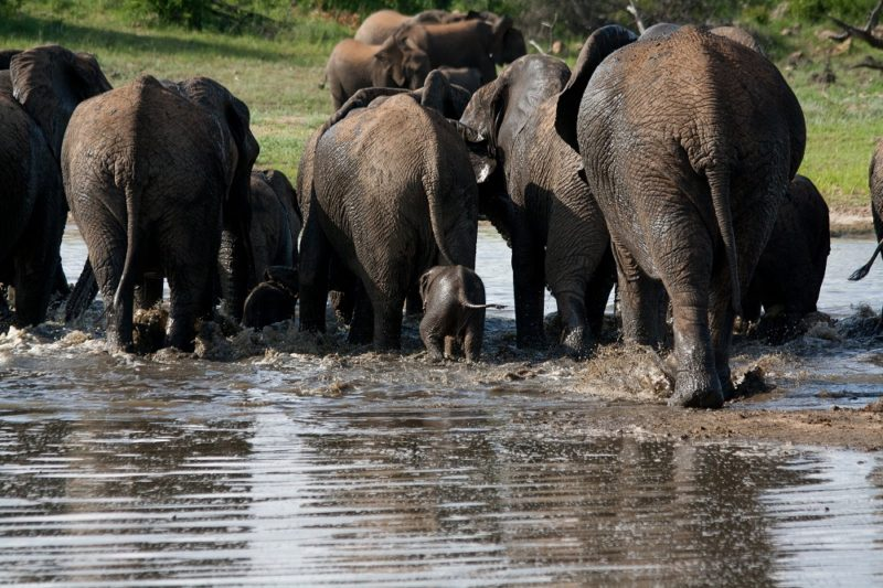 Garonga, Baby Elephant, Elephants Swimming