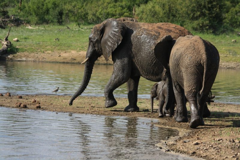 Garonga, Safari Camp, Elephants Swimming