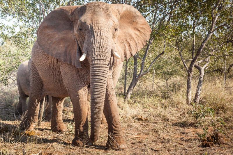 Garonga, African Elephant, Big 5 Elephant