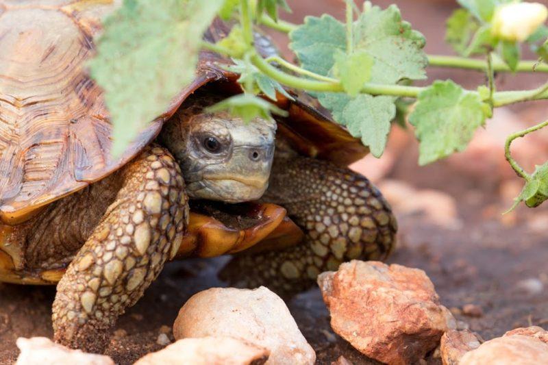Garonga, African Tortoise, Social Distancing