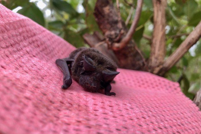 Safari Camp, Garonga Diaries, Lockdown Reading, Free-Tail Bat
