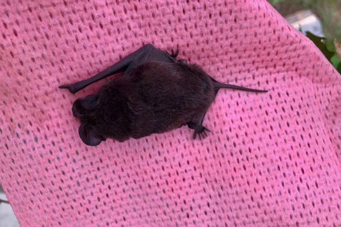 Garonga, Safari Camp, Lockdown Reading, Free-Tail Bat