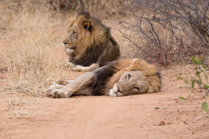 Garonga Safari Camp, Garonga Diaries, Garonga Pride, African Lions, Greater Makalali Private Game Reserve