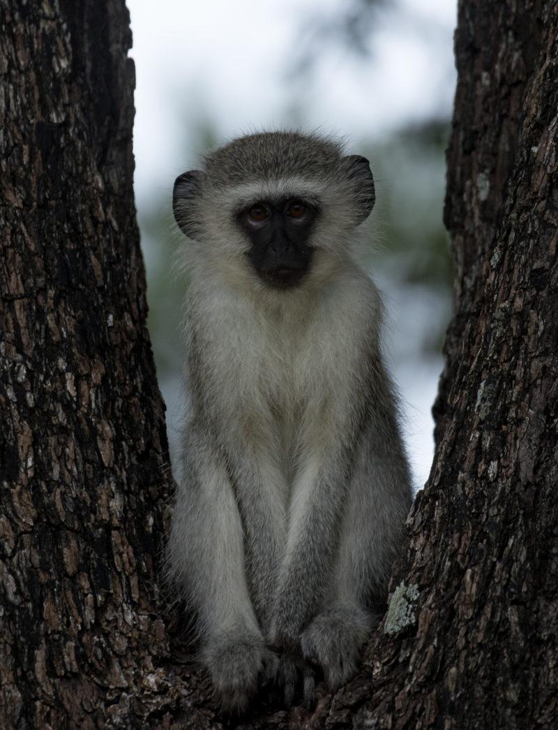 Luxury Safari, Holidays in South Africa, Monkey