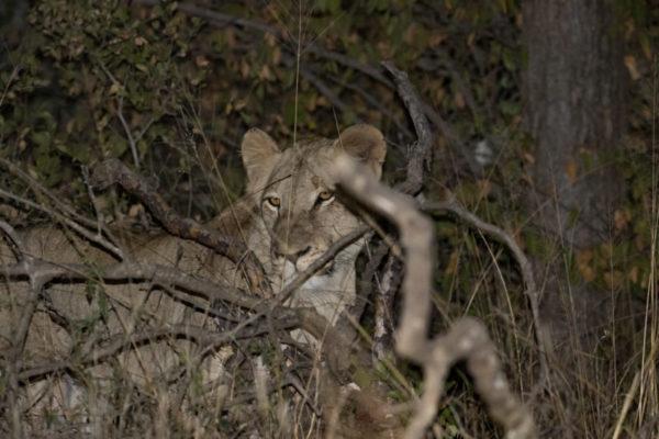 Lion Hunt, Luxury Safari, Midnight Adventure
