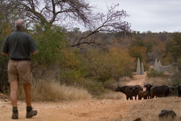 Making Friends, Buffalo in Camp, Big 5 Safari, Luxury Safari