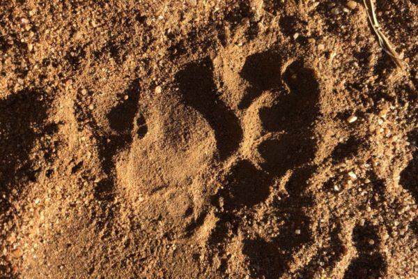 Honey Badger, Tracks, Bush Walk, Luxury Safari