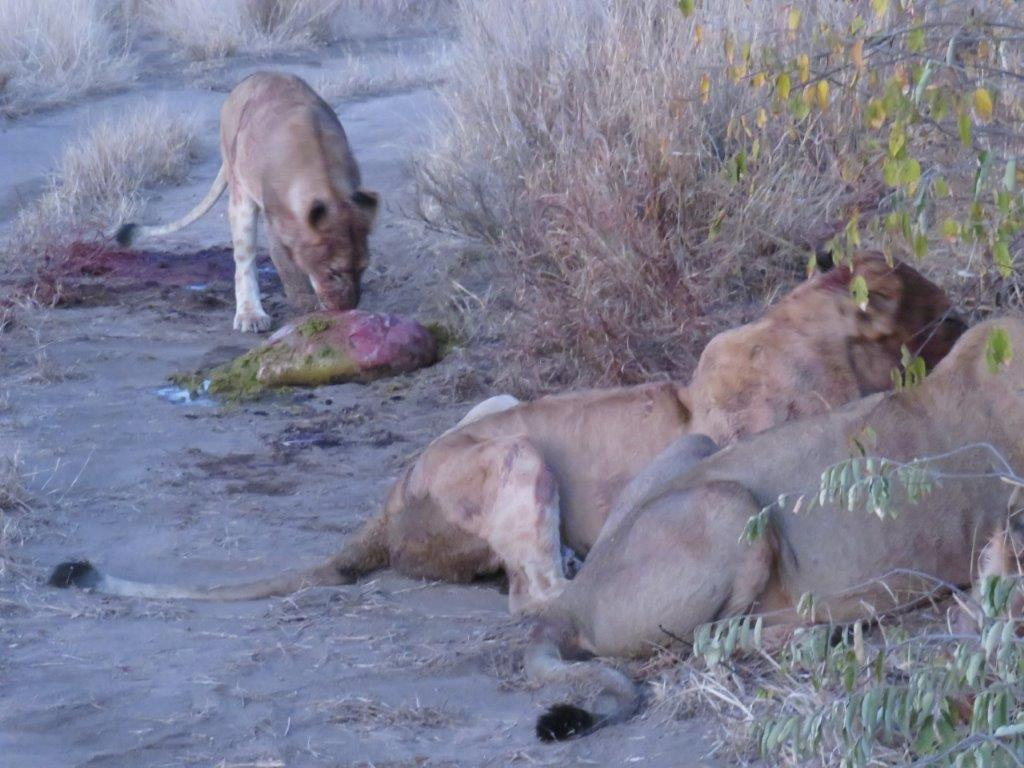 The Garonga Diaries: Lions, Mischief & Maintenance