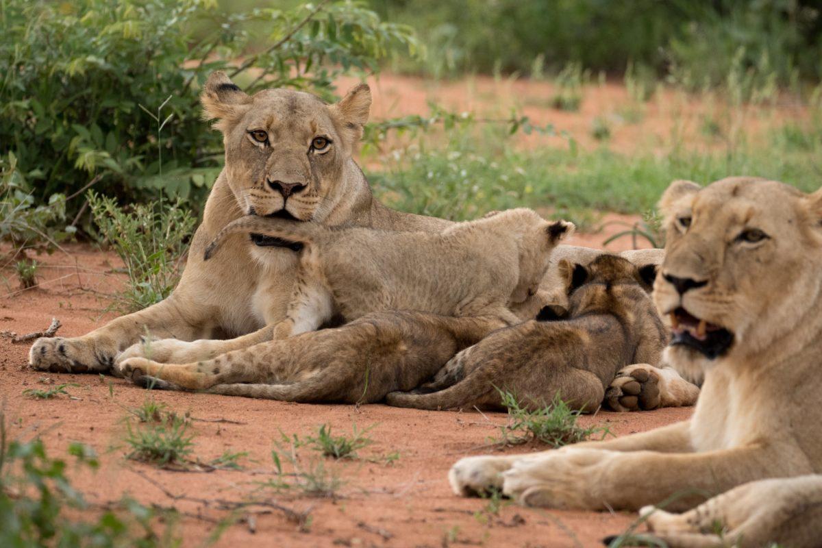 Safari Camp Stories: The Garonga Pride Chronicles.