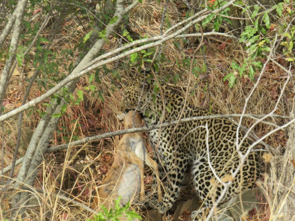 Leopard in the Makalali Conservancy