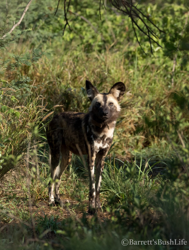 Safari Camp Stories: We let the dogs out!