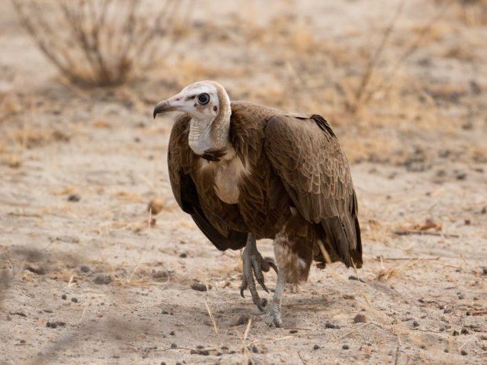 Vulture, Safari